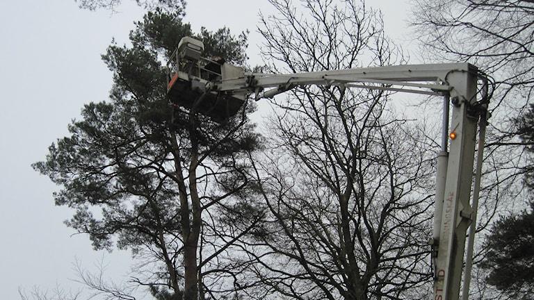 Räddningstjänsten i Båstad försöker rädda en papegoja. Foto: Gunilla Nordström/Sveriges Radio.