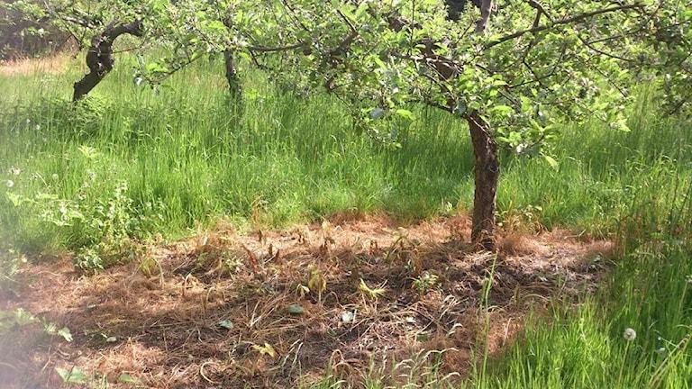 Linas och binas, besprutad ogräs på äppleodling