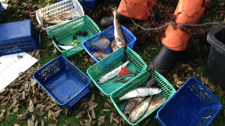 Fångade fiskar