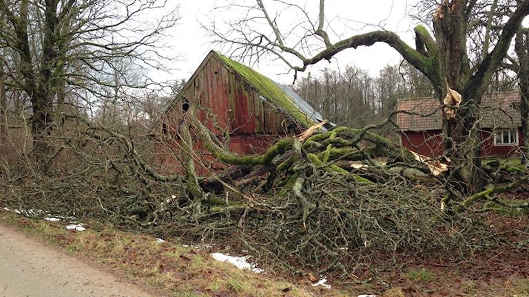 Nedblåsta träd efter stormen Gorm, på Nävlinge