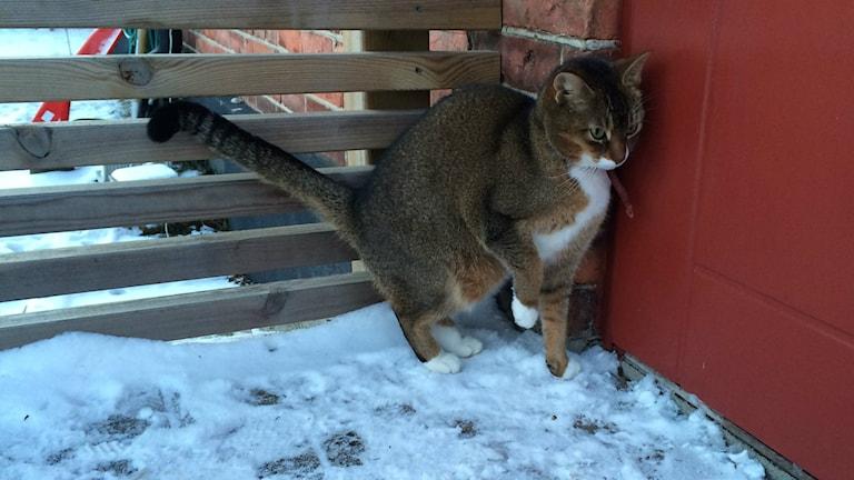 Om det blir riktigt kallt behöver katter kunna söka skydd någonstans. Foto: Jenny Sandgren/Sveriges Radio.