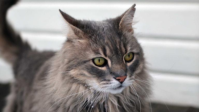 Harmaa Glitter-kissa.