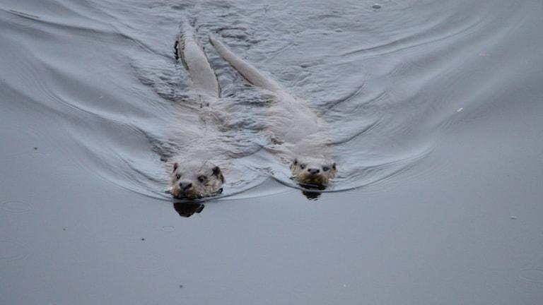 Två uttrar som simmar utanför naturum Vattenriket.