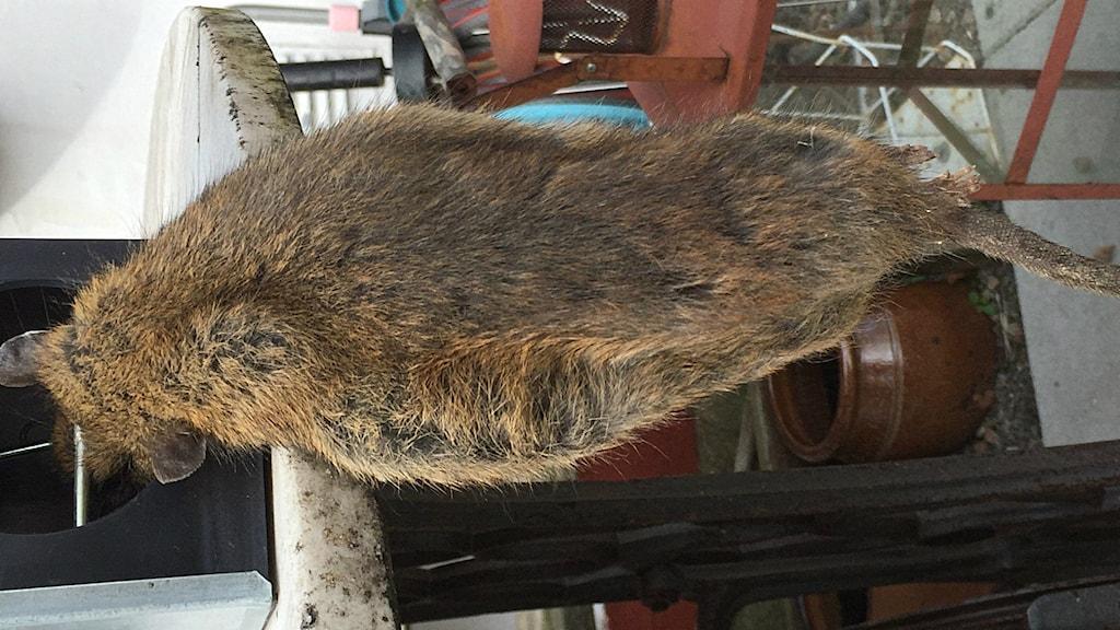 Råttan i Glumslöv