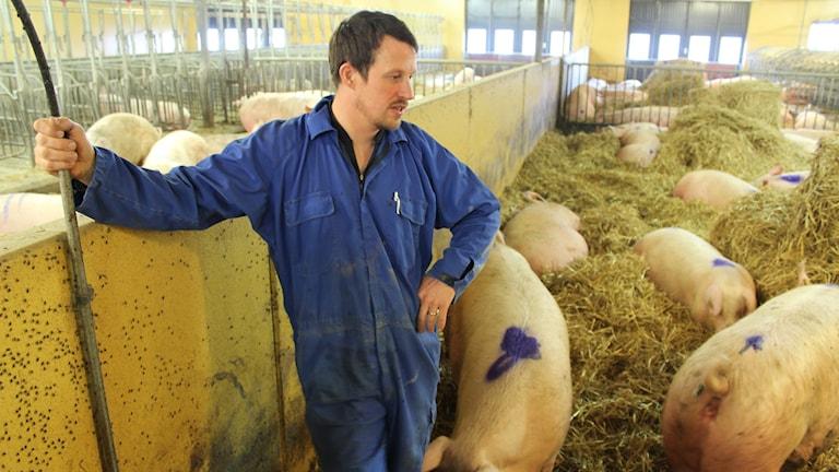 Svinproducent Markus Hansson blickar ut över suggorna.