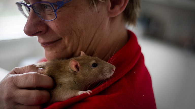 Råttan DaVinci myser på Cilla Wykes axel. Foto: Johan Pettersson/Sveriges Radio