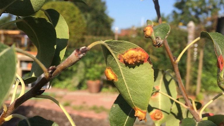 päronrost på baksidan av blad