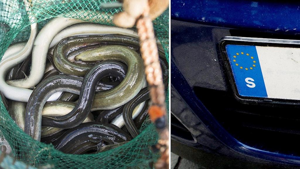 ålar, regskylt