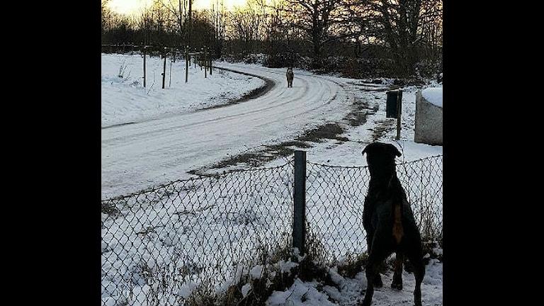 Varg och hund i Hästveda