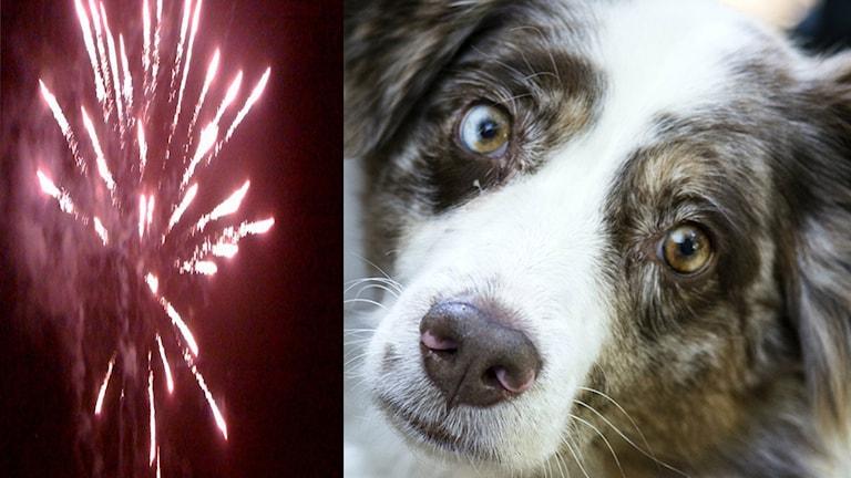 Collage Hudn nyår gjort av Cajsa Bengtsson SR