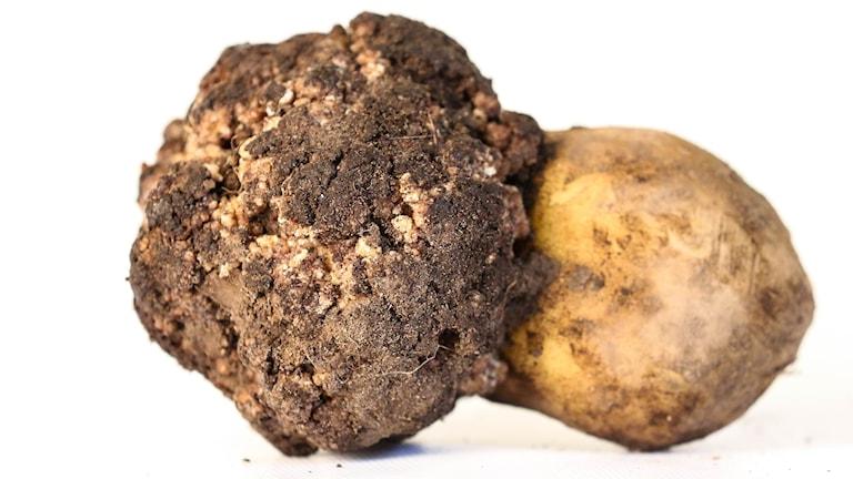 Angripen potatis.