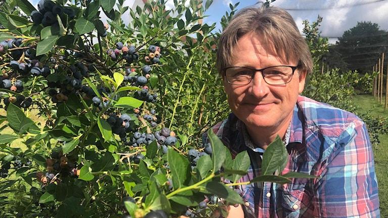 Man vid blåbärsbuske