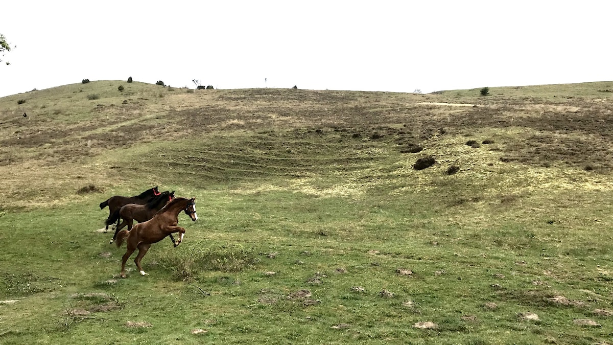Hästar släpps i Brösarps backar.