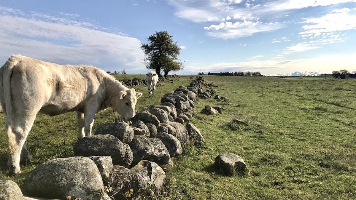 Kor som står i en hage.