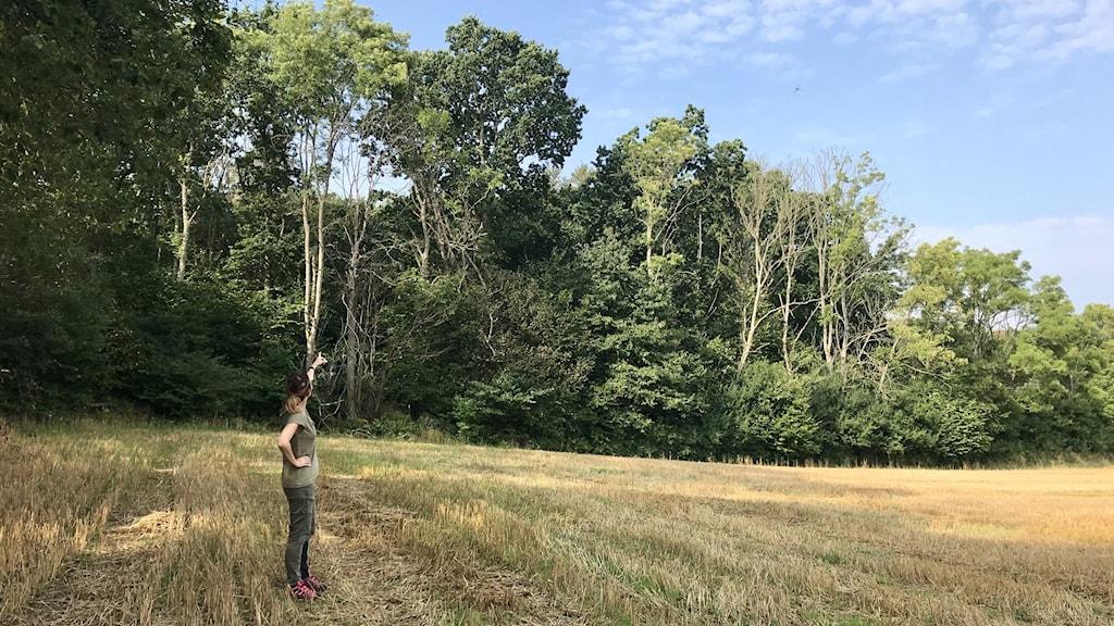 Forskarna sökte friska askträd som växer bland smittade grannar.