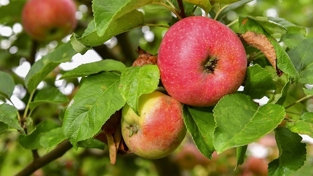Närbild på äpplen i ett träd.
