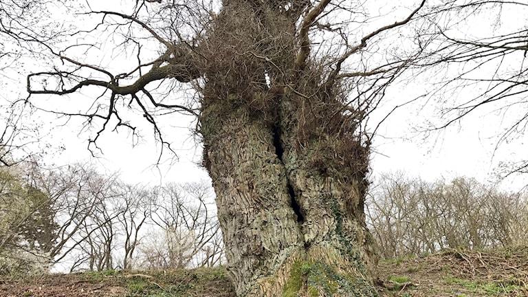 Eken i arboretet i Esperöd är på väg att bli naturminne.