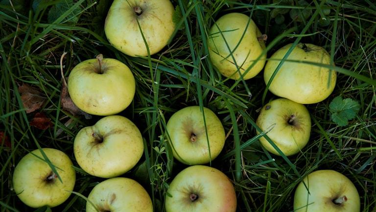 Äpplen i gräs