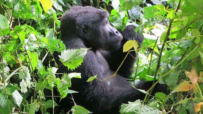 Bergsgorilla, Uganda