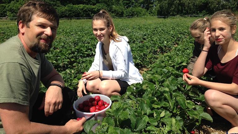 Familj plockar jordgubbar