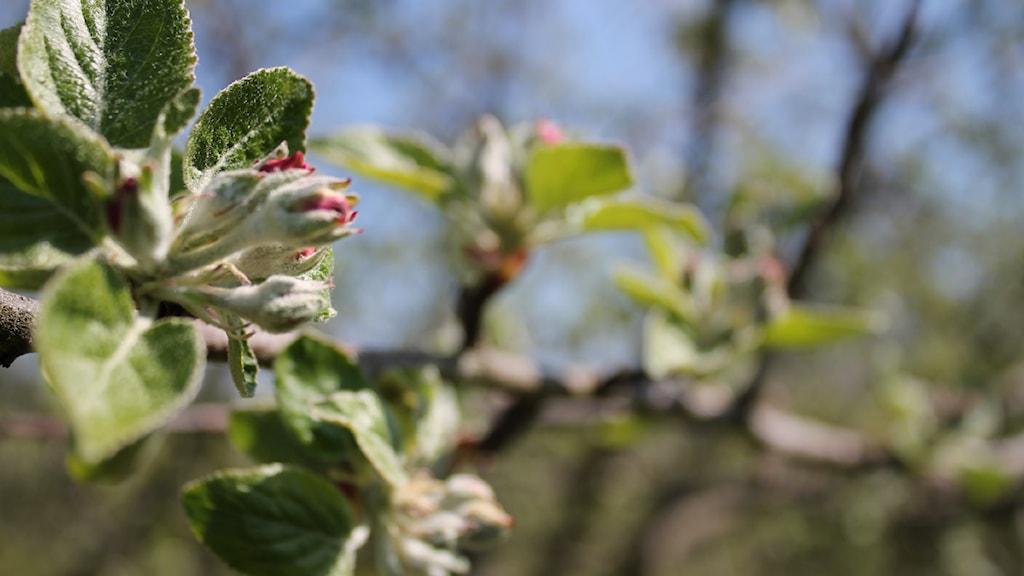Äppelträden knoppas i Kivik. Foto: Malin Thelin / Sveriges Radio