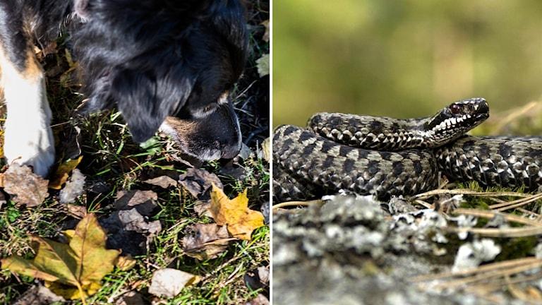 Två bilder. En bild på svart hund som luktar på gräs och löv. Den andra bilden på en huggorm som ligger ihopringlad på gräs.