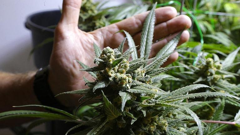 Hand som tar på en cannabisplanta