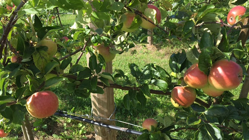 ekologiska äpplen