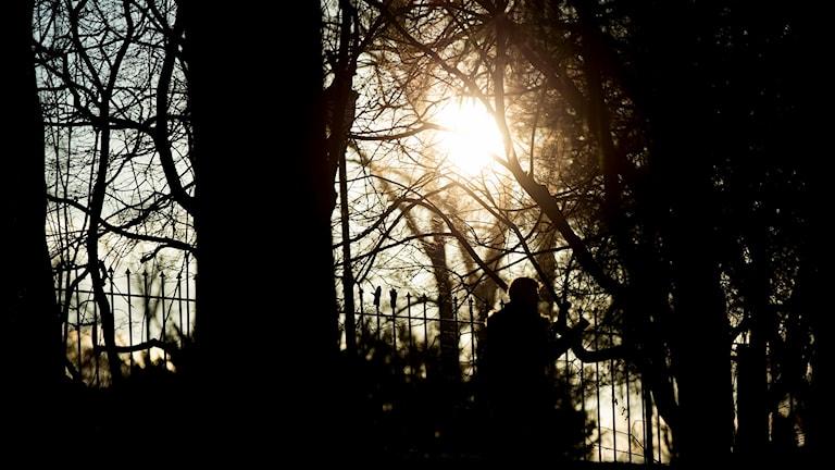 Sol som lyser mellan träd.