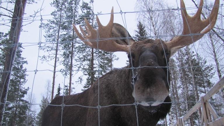Artur-hirvi tuli Rokan hirvifarmile vasikkana. Mamma kuoli trafiikkionnettomuuessa. Foto: Bertil Isaksson.
