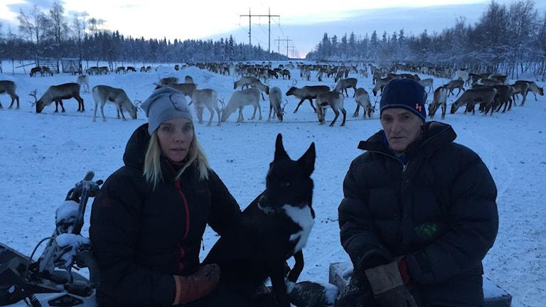 Lars Uusitalo med dottern Johanna utfodrar Sattajärvi samebys renar i Mukkakangas.
