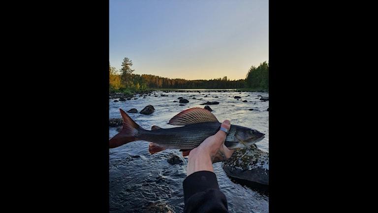 Fisk i handen framför en rinnande å, gulblå himmel och skog i bakgrunden