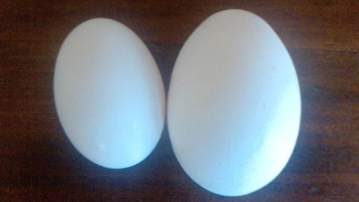 Kaksi munaa/två ägg.Foto Hannes Rajakisto.