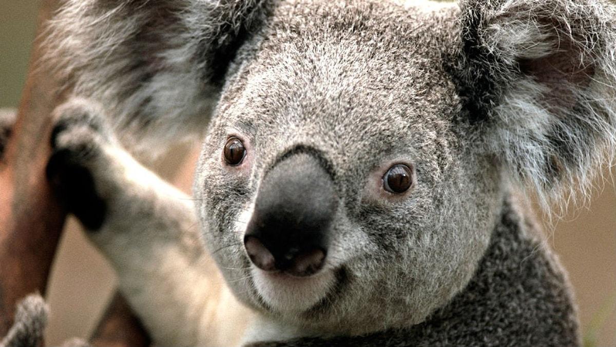 Lähikuva koalasta Foto: Irma-Liisa Pyökkimies / Sveriges Radio Sisuradio