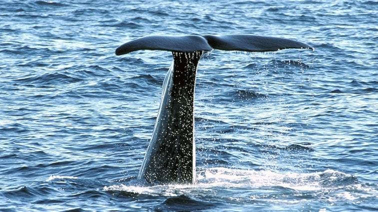 Kaskelothanne tar sats för ett dyk.