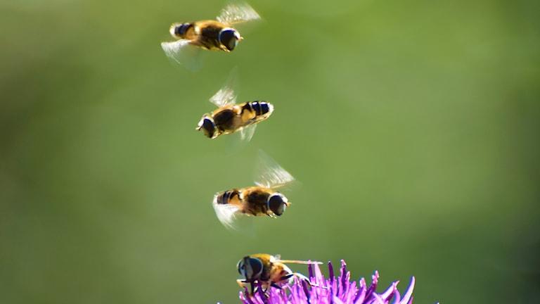 Vad gör de tre blomflugorna som följer med den fjärde från blomma till blomma? Är de livvakter, undrar Petra Åhlén.