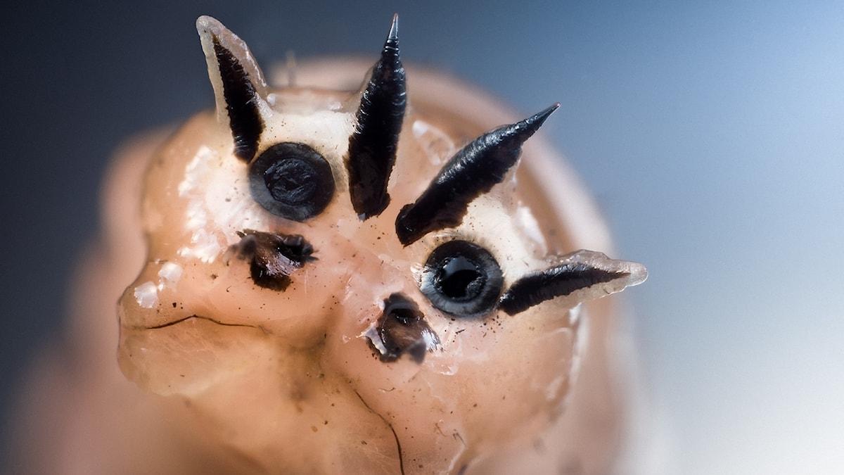 En närbild på en harkranklarv.