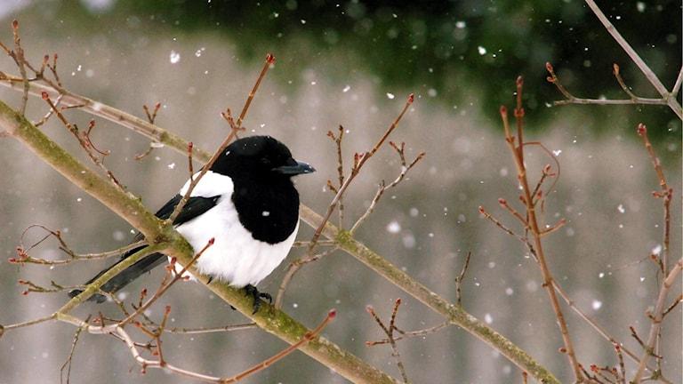 En skata sitter på en avlövad gren och det snöar lätt.