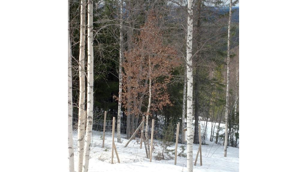 Varför har just den här björken löven kvar hela vintern?