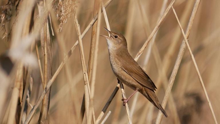Brun småfågel som sitter och sjunger på ett vasstrå. Vassångare, Locustella luscinioides