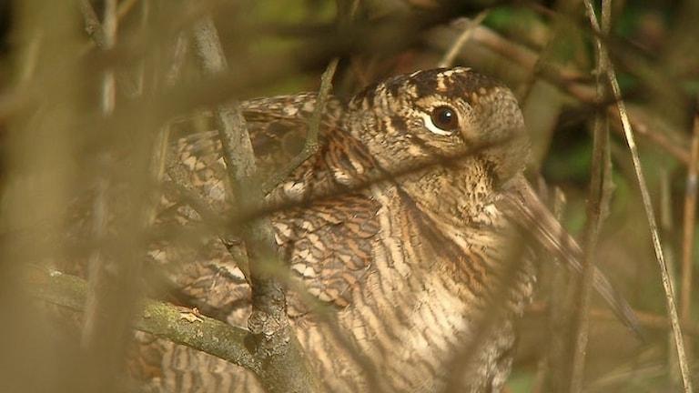 Närbild på brunspräcklig fågel bland tät undervegetation i skog. Morkulla, Scolopax rusticola