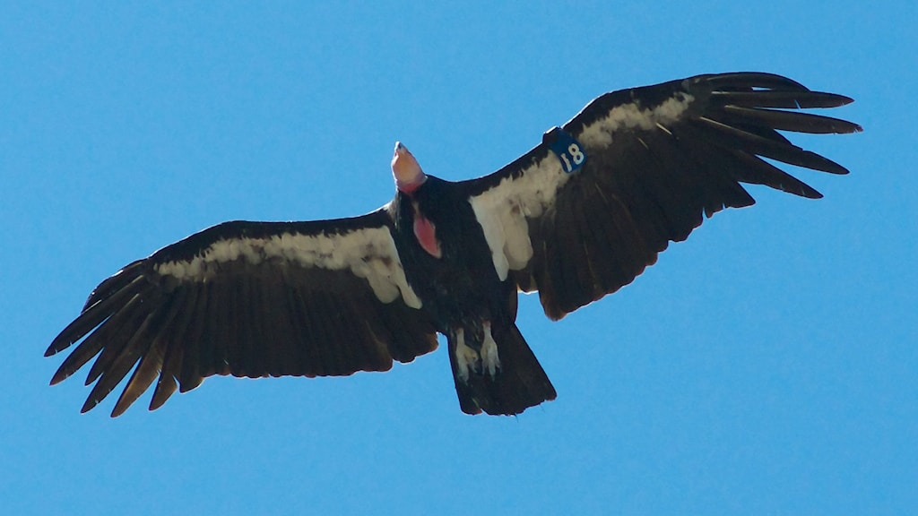 """Flygande svart fågel sedd underifrån. vita trekanter på undervingen, rött kalt huvud och """"spretiga fingrar!""""."""
