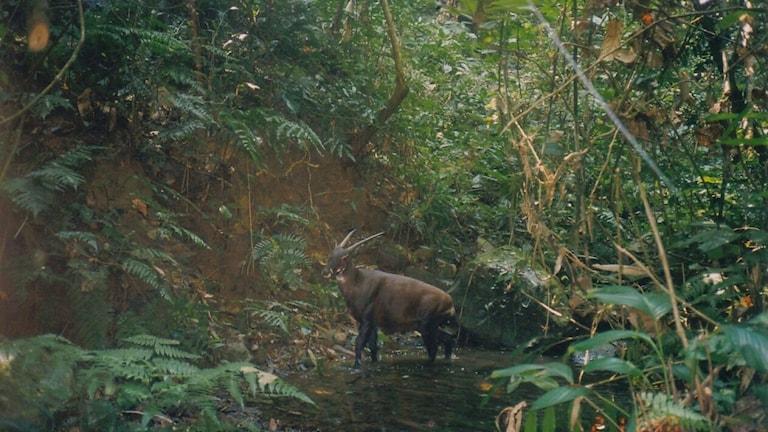 Ett hovdjur som ser ut som en blandning mellan en get och en liten oxe, med långa antilopaktiga horn, i ett vattenhål i djungeln. Saola, Pseudoryx nghetinhensis