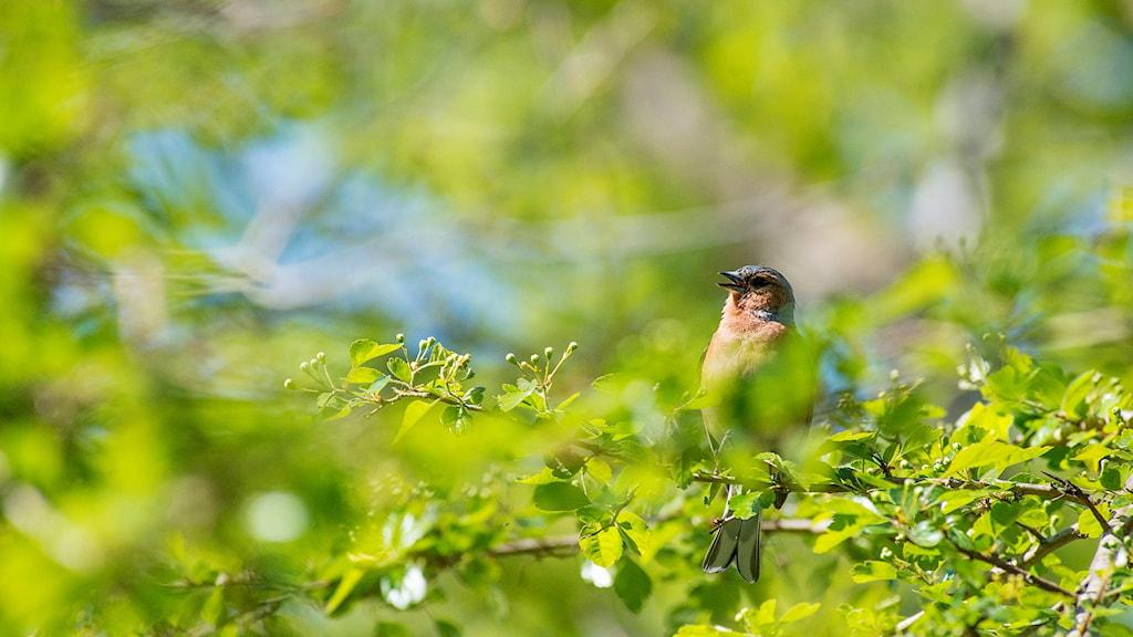 Sjungande fågel på en gren omgiven av frisk grönska