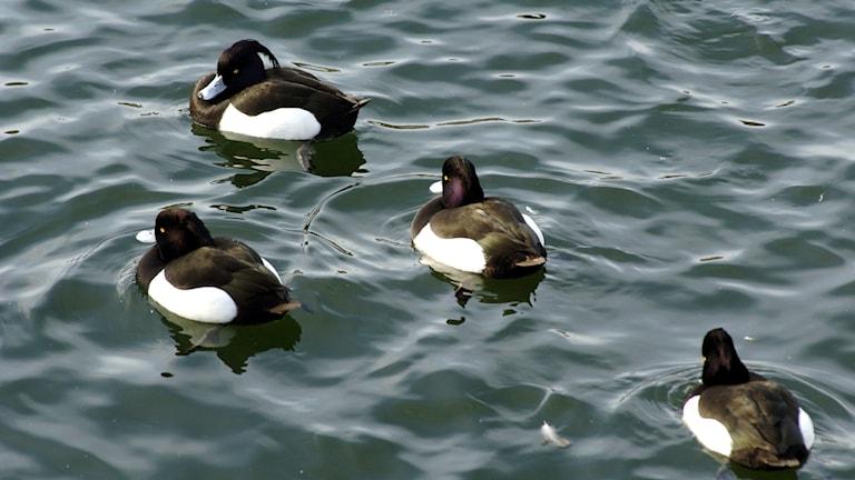 Fyra svartvita änder, viggar, ligger på vattnet.