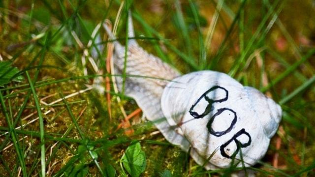 En vinbergssnäcka märkt med bokstäverna BOB på skalet, kryper genom gräset
