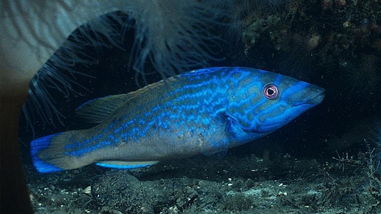 Närbild på en gröngrå fisk med vindlande mönster i starkt lysande blått