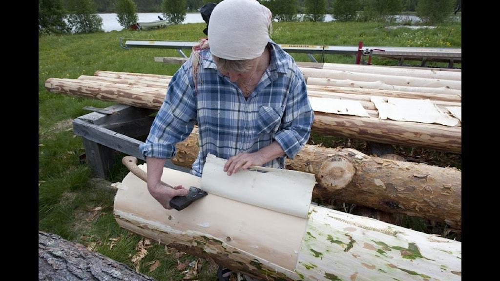 Greta Huuva har täljt bort tallytterbarken och lyfter nu bort innerbarken som ska torkas, rostas och malas.Foto Thomas Öberg