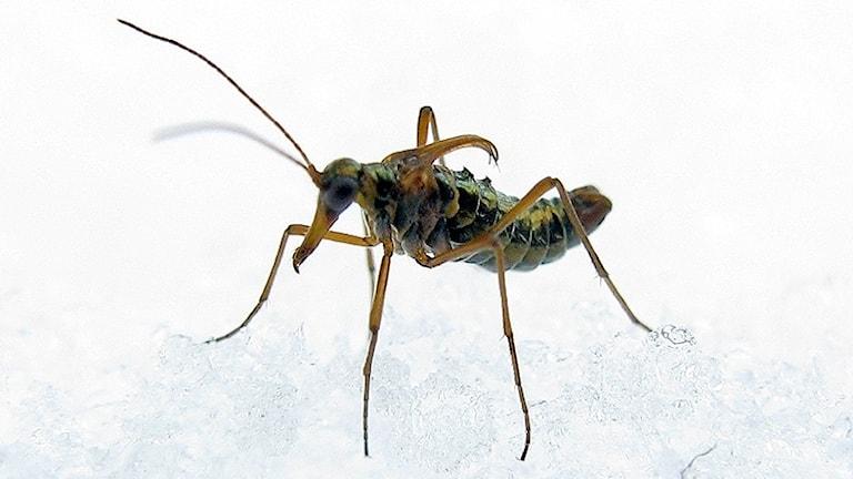 Närbild på en grönmetallskimrande insekt i snö