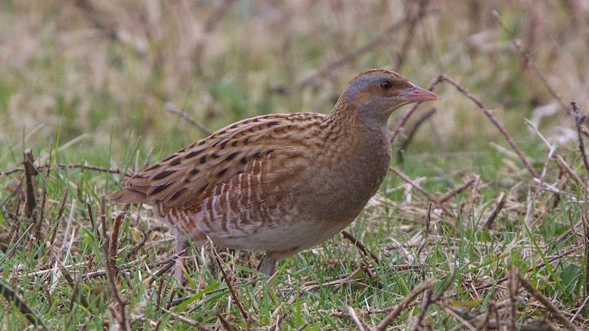 Brunspräcklig fågel går på marken bland gräs. Kornknarr, Crex crex